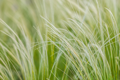 Wispy grass close-up